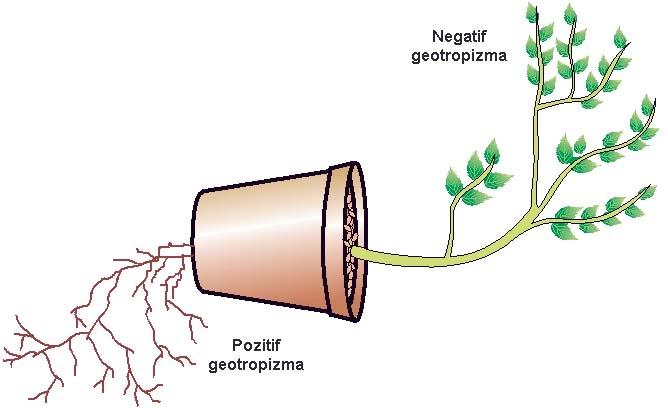 Bitki Tropizmlerini Anlamak